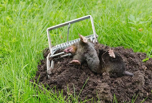 Борьба с водяной (земляной) крысой, как от неё избавиться