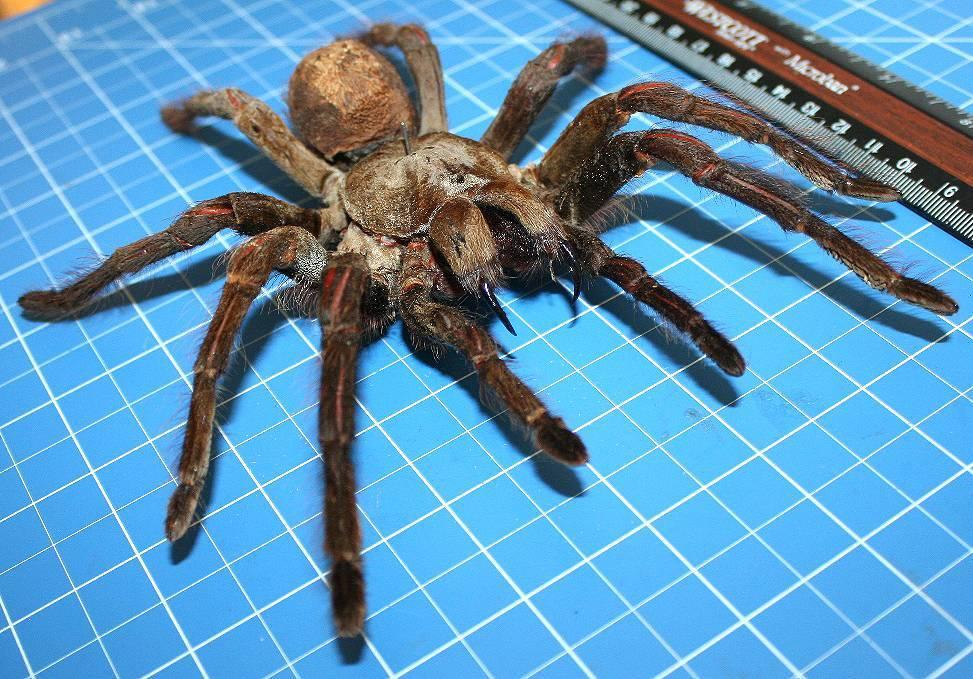 Как выглядит и какие размеры самого большого паука на земле