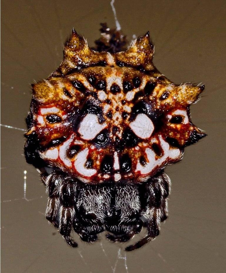 Шипастый паук-кругопряд или «рогатый паук» (лат. gasteracantha cancriformis)