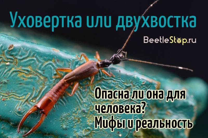 Двухвостки: особенности жизнедеятельности опасного насекомого