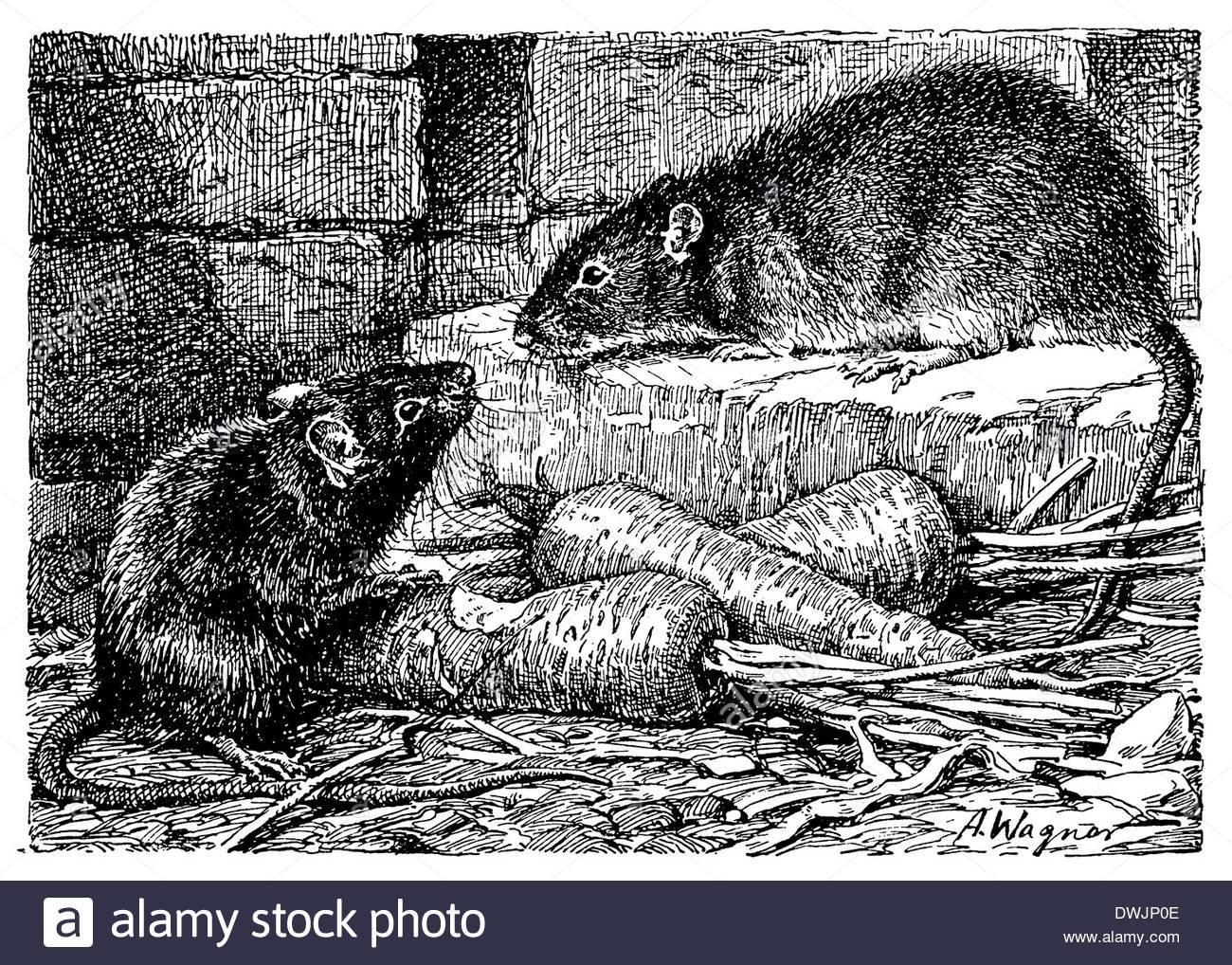 Крысы, в роли домашних питомцев: поведение, уход и питание