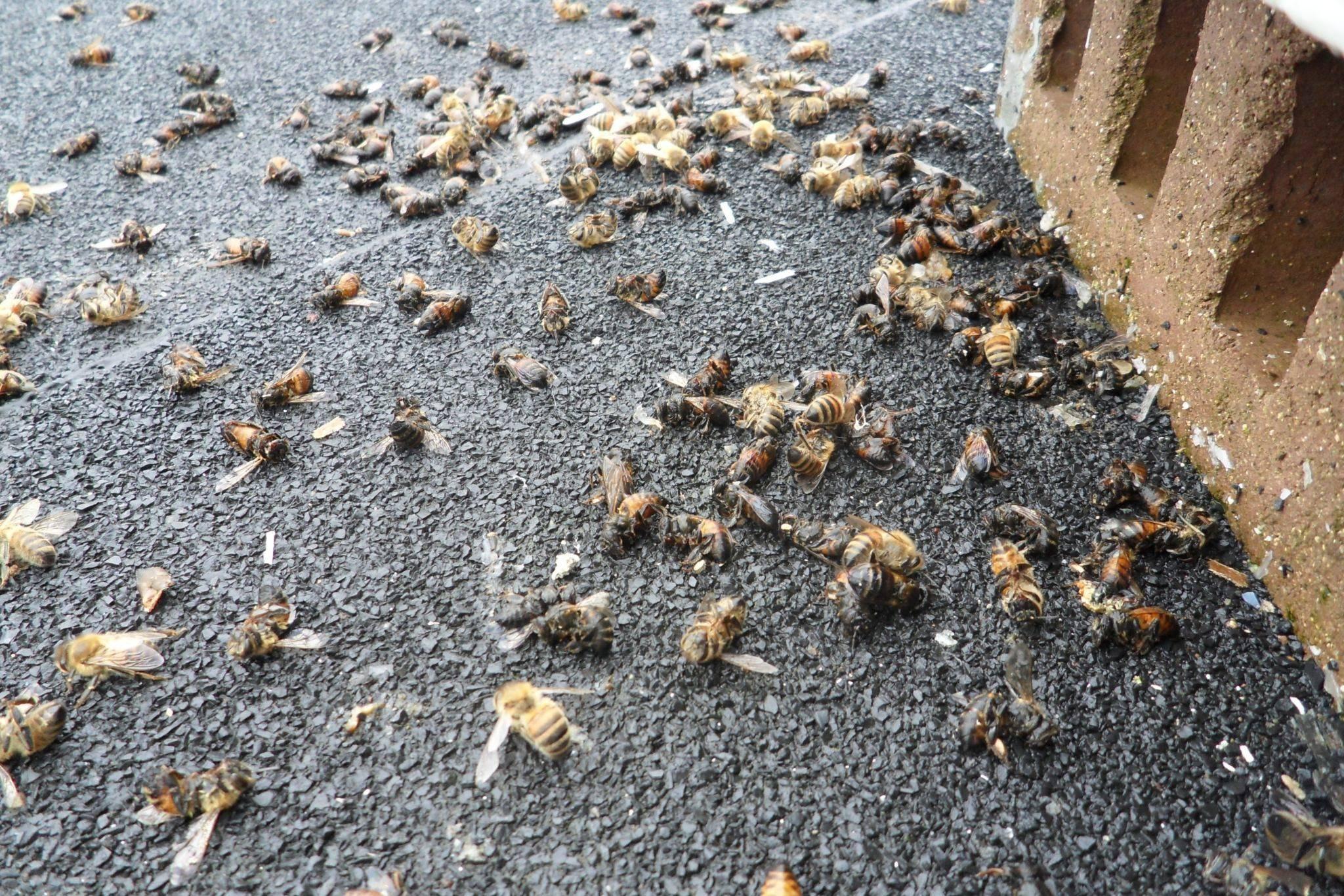 Вымирание пчёл: почему так происходит и как решить проблему