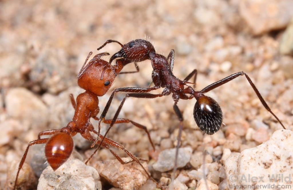 Амазонки - воительницы из рода полиергус | клуб любителей муравьев
