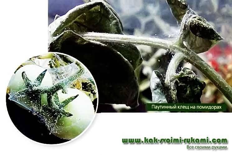 Вредители в теплице и борьба с ними: паутинный клещ
