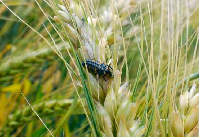 Шведская муха – опасный вредитель кукурузы, ячменя, овса