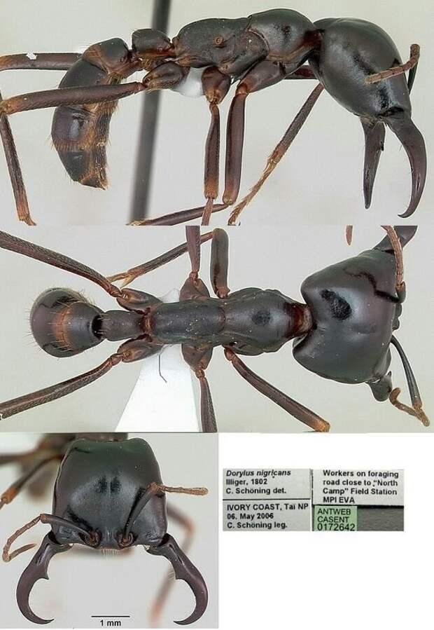 Муравьи lasius flavus