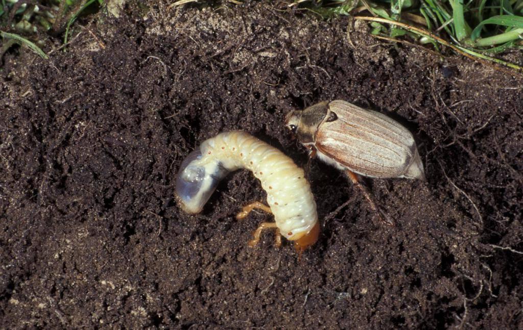 Майский жук – методы борьбы