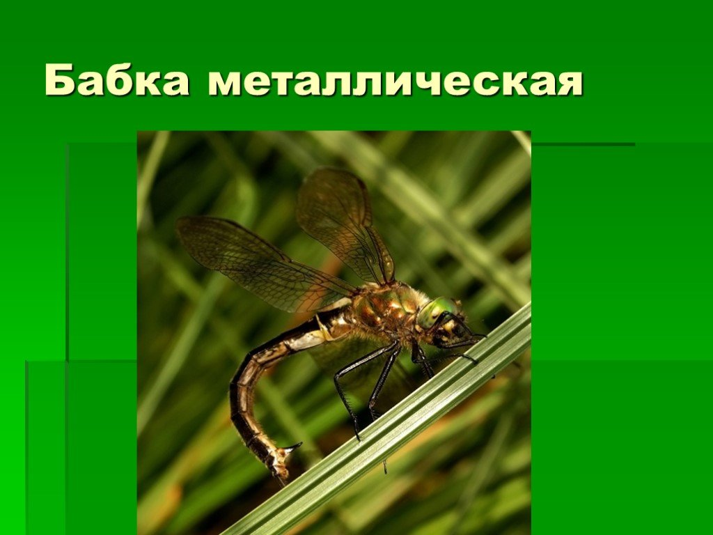 Стрекоза – описание, виды, чем питается, где обитает