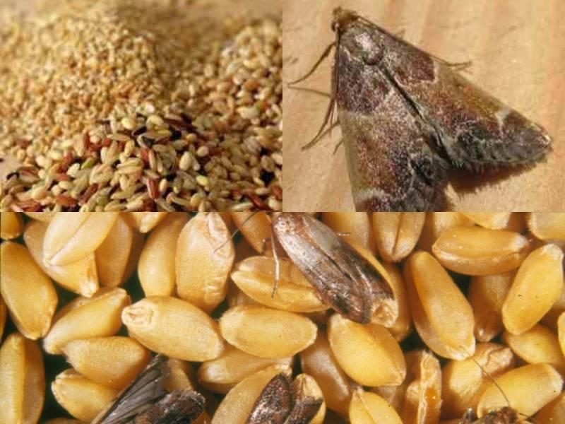 Бабочка огневка - фото и описание