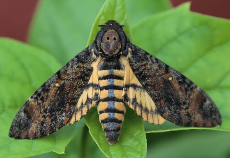 Мифы, легенды и интересные факты о бабочке «мертвая голова»