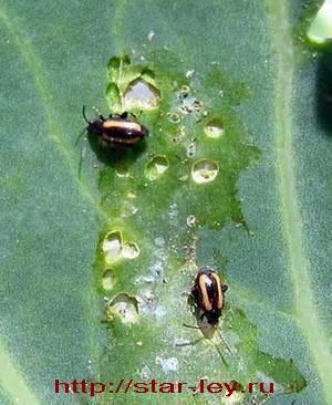 Крестоцветная блошка - методы борьбы с насекомым