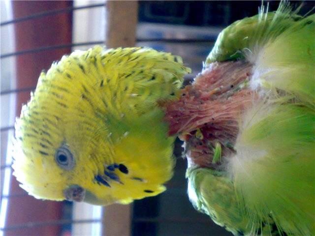 Клещи у попугаев, лечение в домашних условиях. препараты