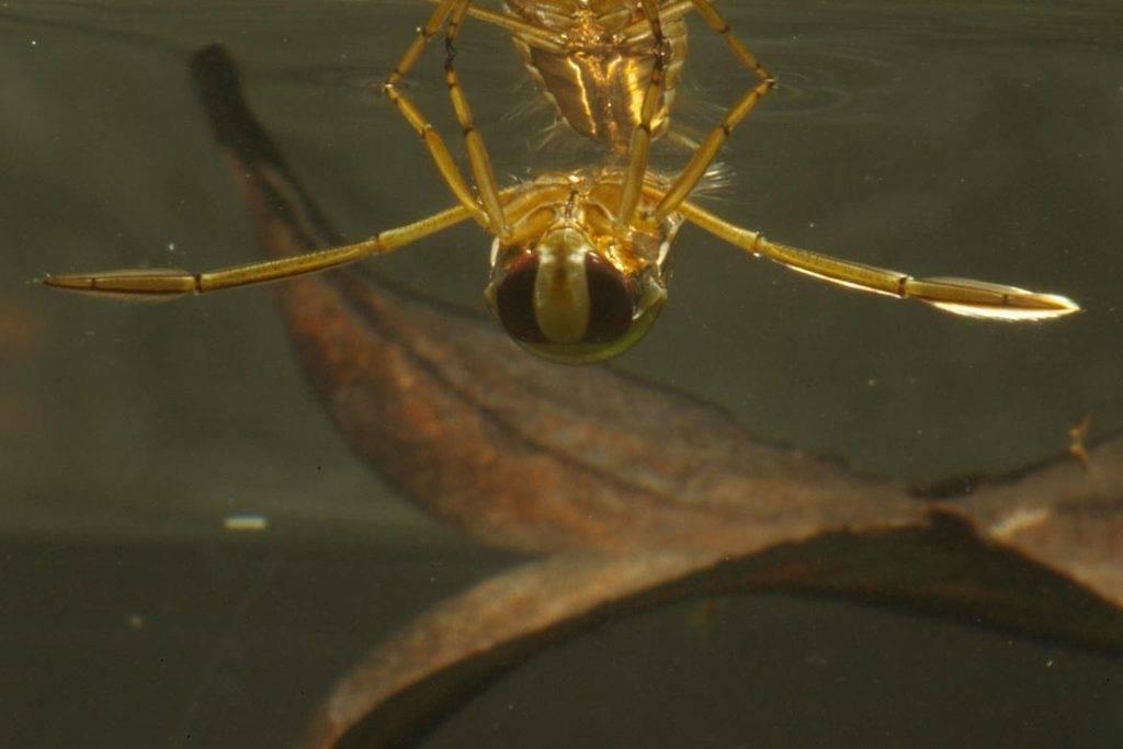 Виды водяного клопа: водомерка, гладыш, белостома - какую несут опасность для человека