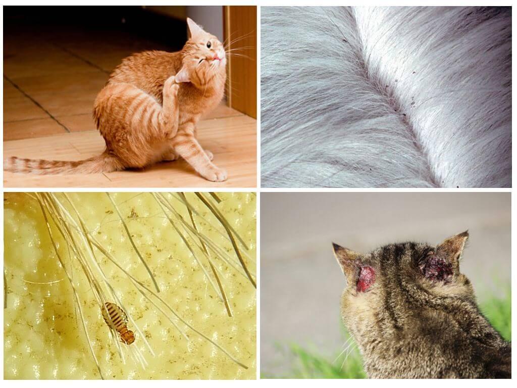 Блохи у кошки: как вывести в домашних условиях