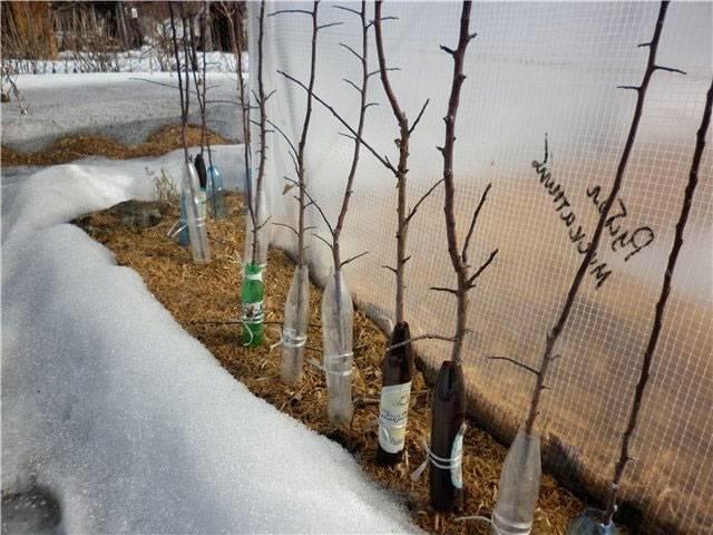 Что делать, если плодовые саженцы погрызли мыши или зайцы? варианты реабилитации. фото — ботаничка.ru