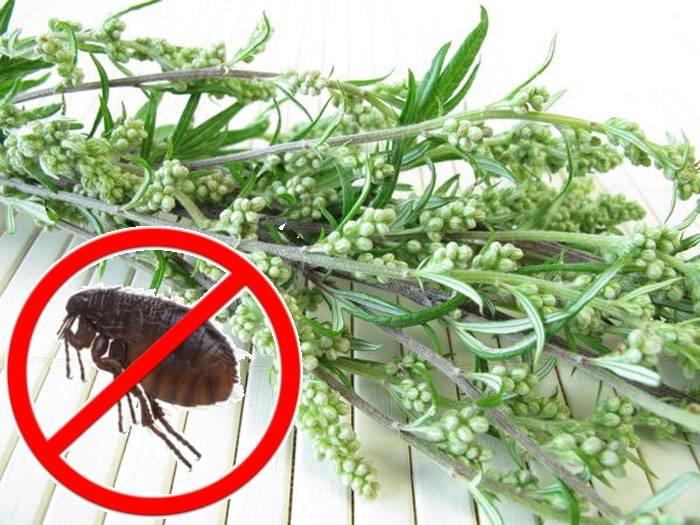 Полынь от блох: свойства растения, противопоказания
