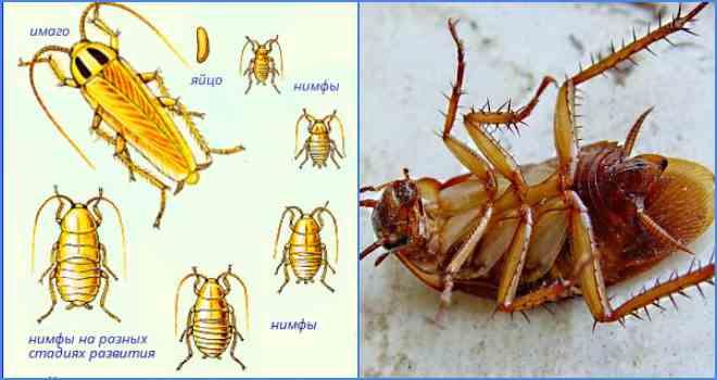 Домашние тараканы: как выглядят, размножаются и растут, переносимые болезни, вред и польза для человека + фото и видео