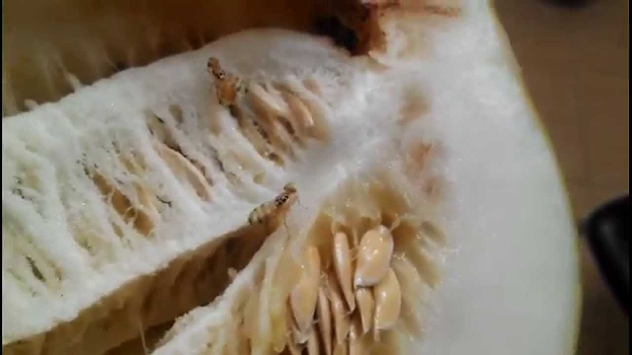 Дынная муха: методы борьбы и опасность для человека