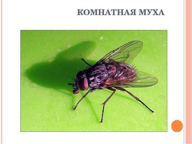 Описание и фото домашней мухи