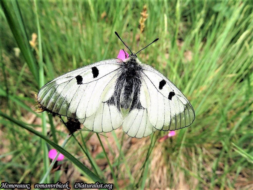 Как зимует бабочка павлиний глаз: особенности поведения насекомого