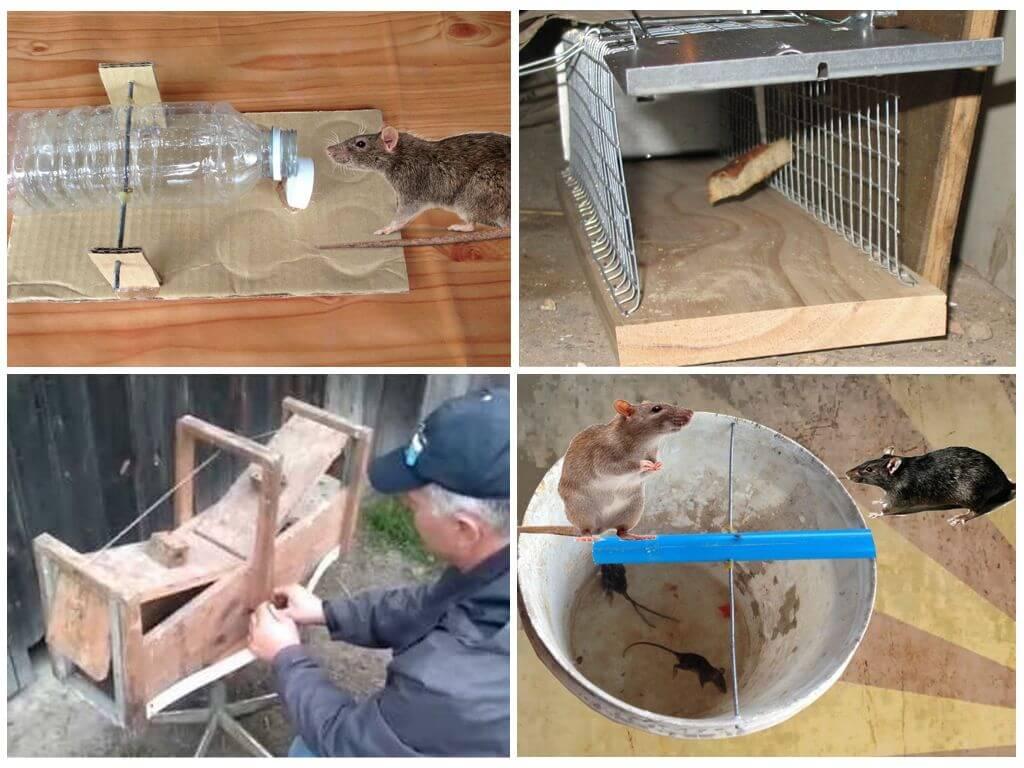 Как поймать крысу дома и в квартире: самодельные способ, ловушки