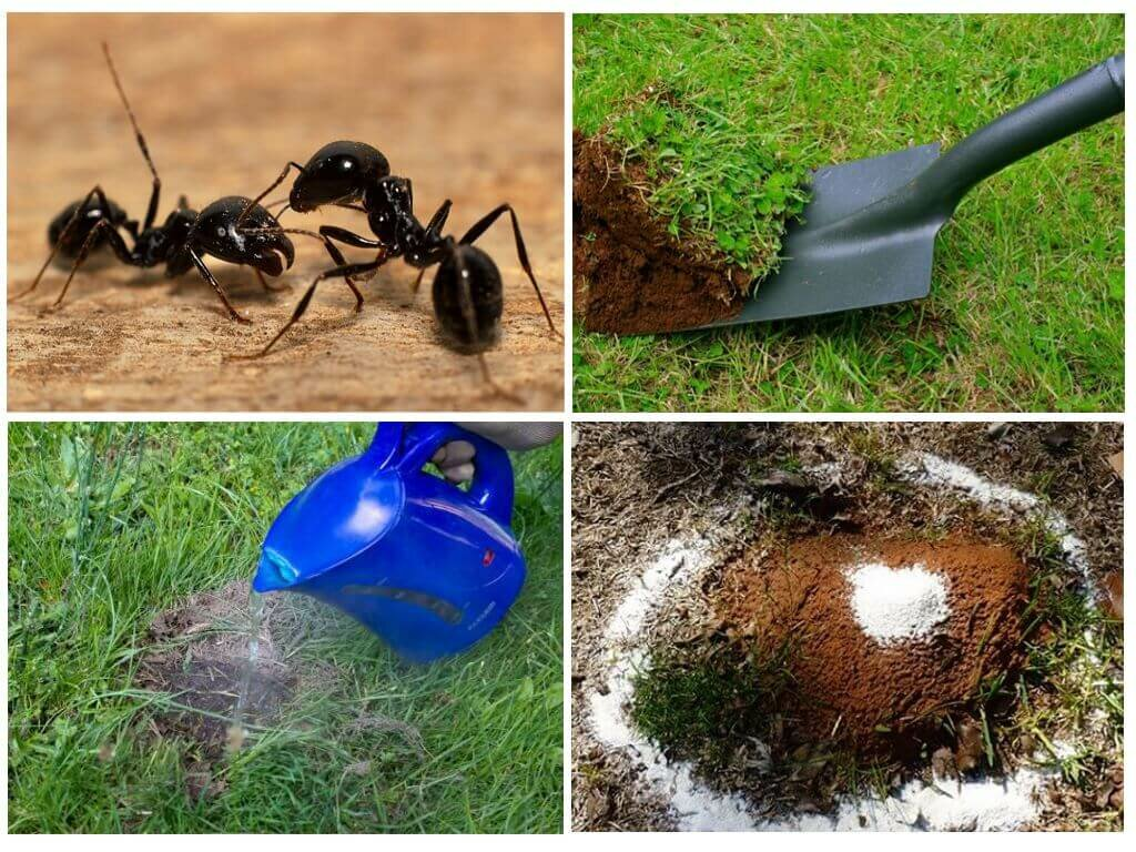 Как избавиться от муравьев в саду и огороде народными средствами