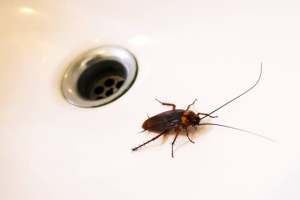Как избавится от тараканов в доме: самые эффективные способы борьбы русский фермер