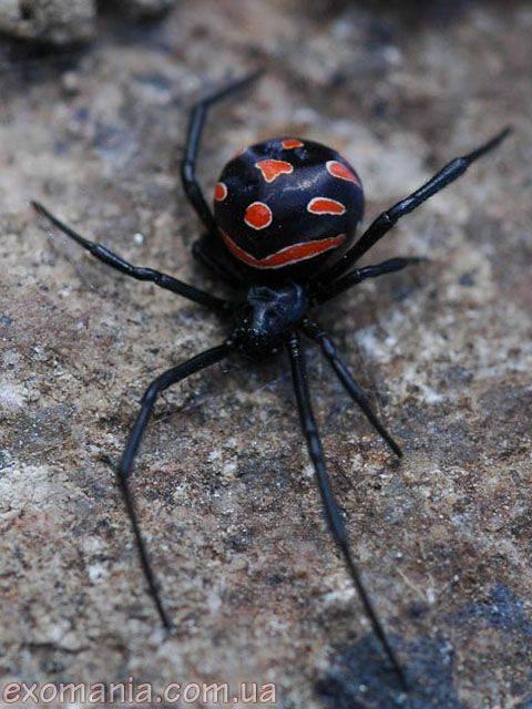 Укус паука каракурта