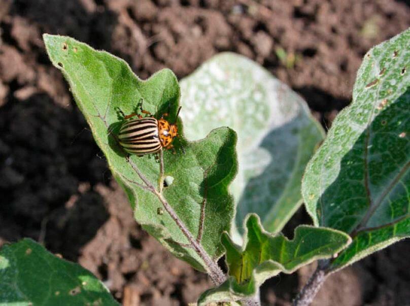 Жизненный цикл и основные вехи борьбы с колорадским жуком на картофеле