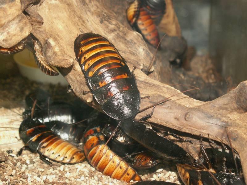 Шипящий домашний питомец — мадагаскарский таракан