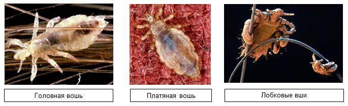 Инкубационный период вшей и гнид, способы борьбы с паразитами