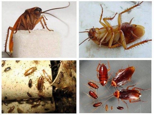 Сколько живут тараканы: домашние и в природе, жизненный цикл и продолжительность жизни русский фермер