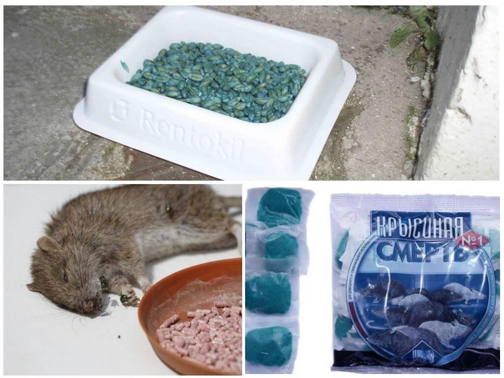Через сколько действует крысиный яд на человека. как действует крысиный яд на человека – симптомы отравления