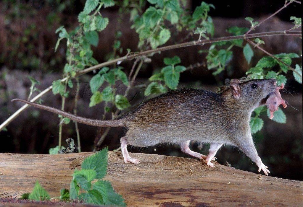 Следы крысы на снегу - фото и описание следов