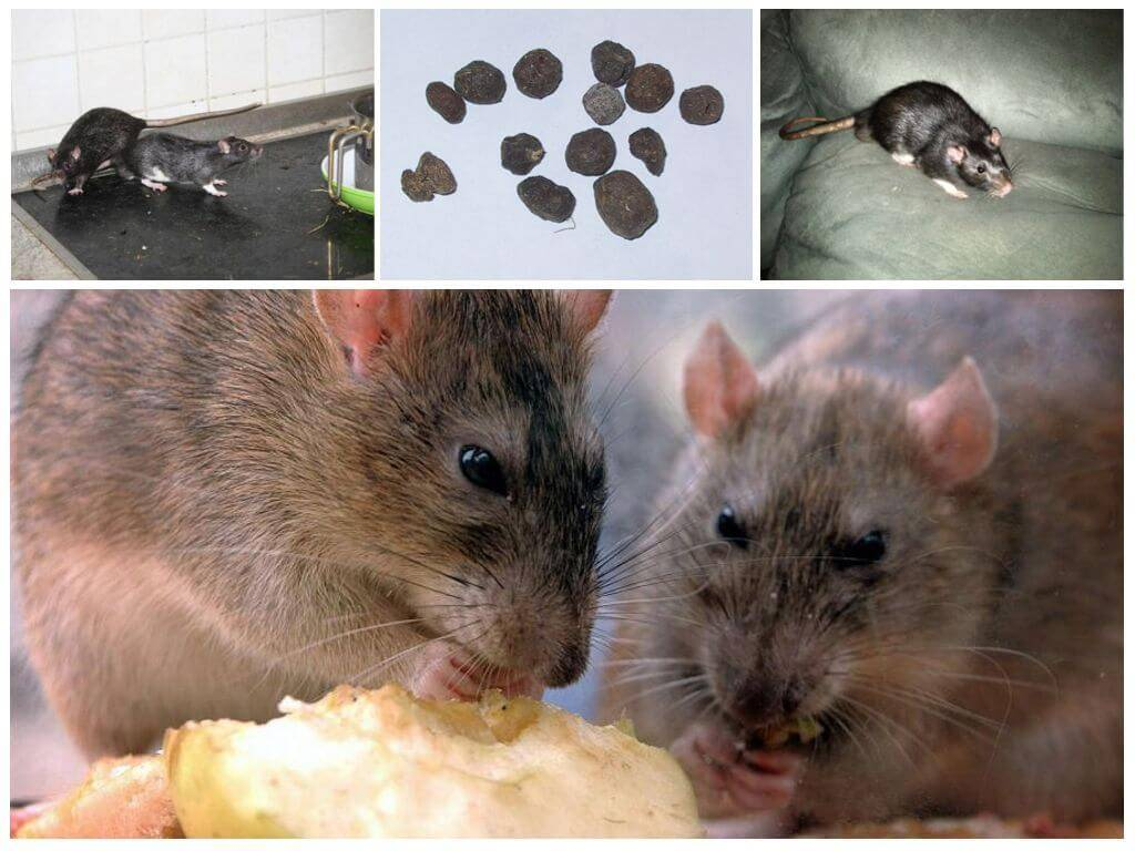 Как избавиться от крысы в погребе, борьба с грызунами