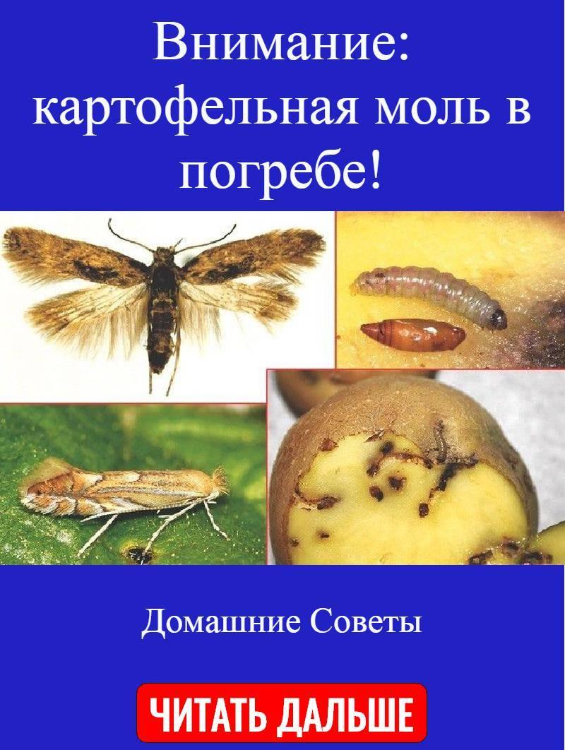 Методы борьбы с фторимеей – картофельной молью