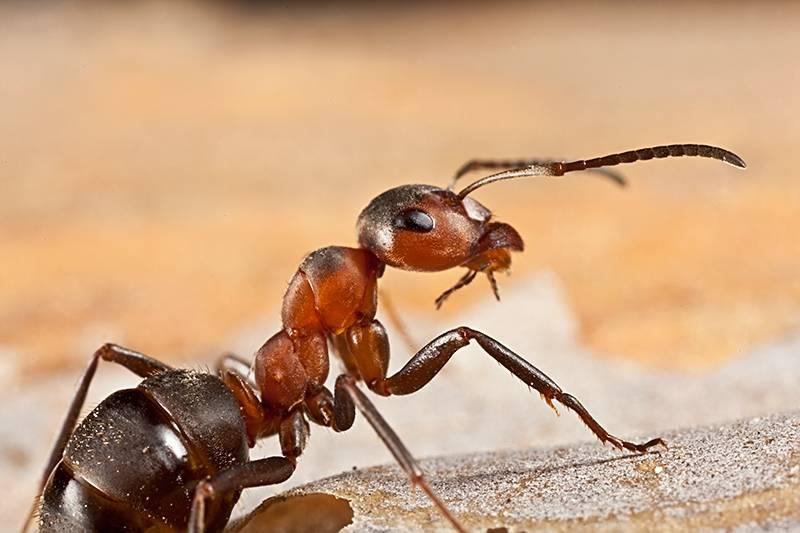 Рыжие муравьи - как от них избавится?