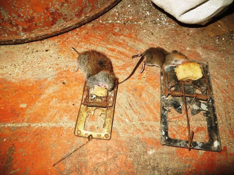 Вредные грызуны в курятнике — боремся с ними правильно!