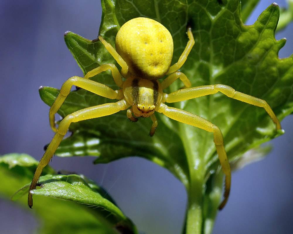 Паук фрин или жгутоногий паук - где обитает и опасен ли для человека?