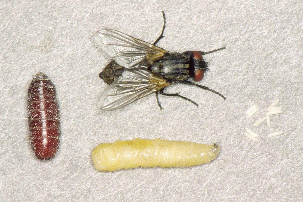 Что будет, если съесть яйца или личинки мухи?