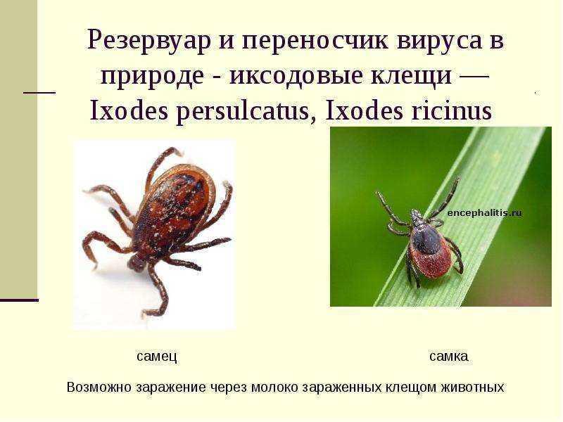 Виды клещей: переносчики инфекций, вредители и полезные разновидности