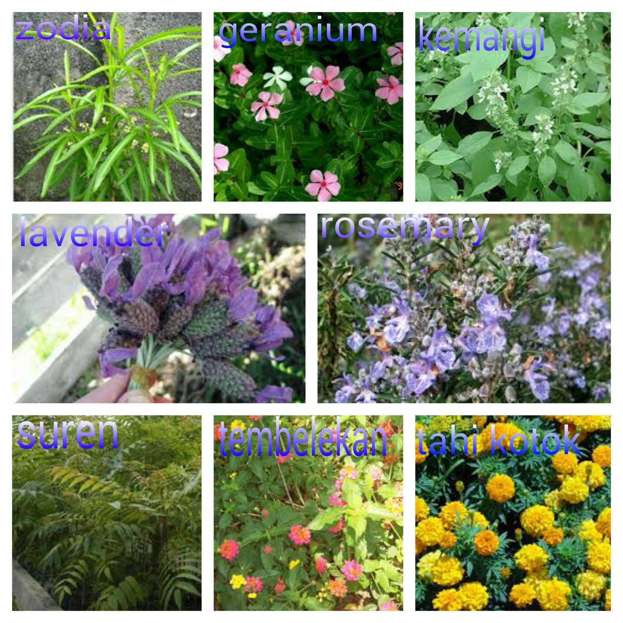 Растения, отпугивающие комаров - огород, сад, балкон - медиаплатформа миртесен
