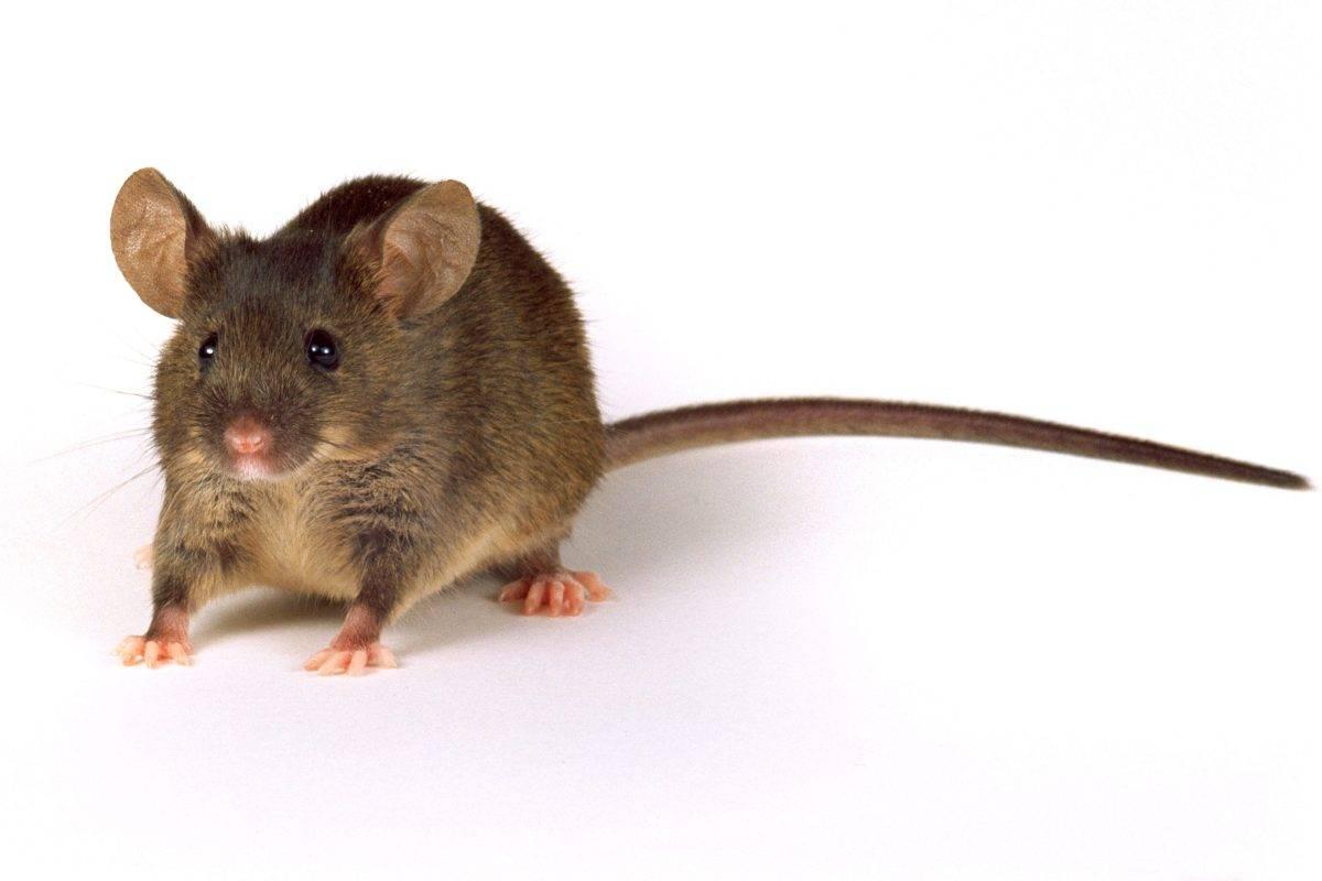 Домовая мышь — описание, среда обитания, образ жизни