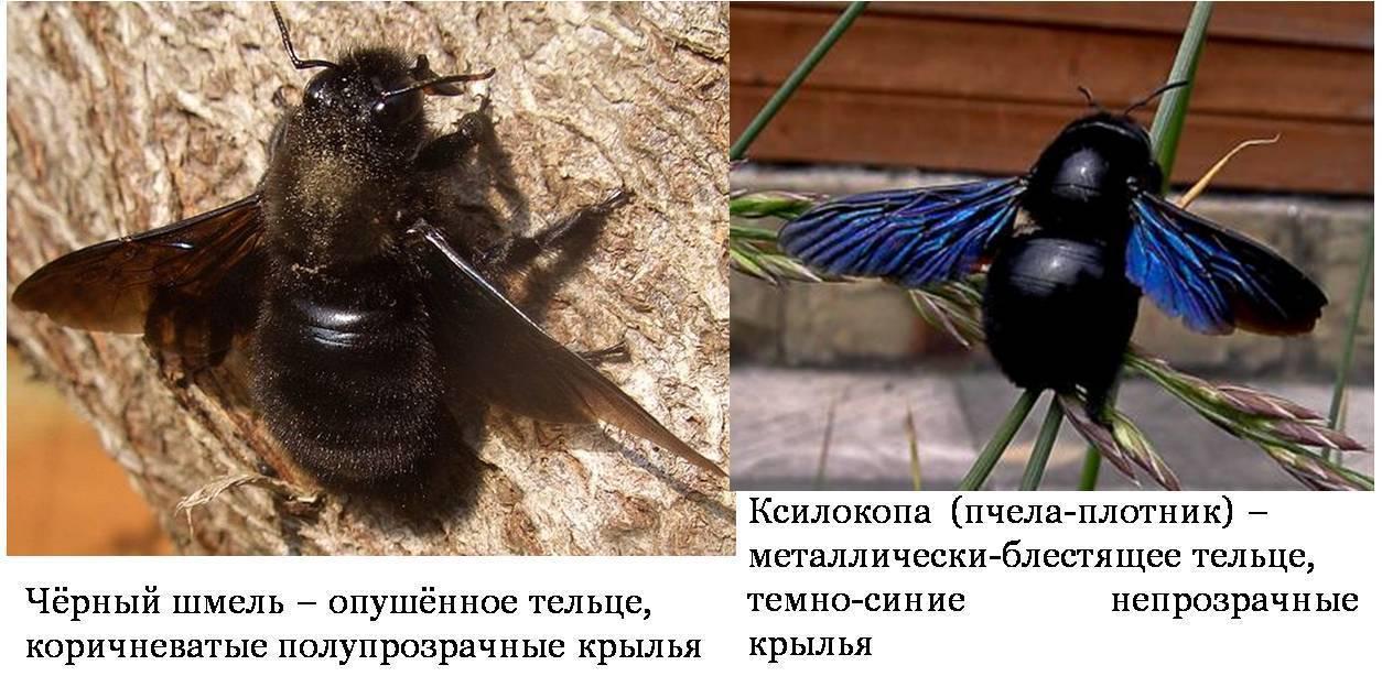 Черный шмель с синими крыльями