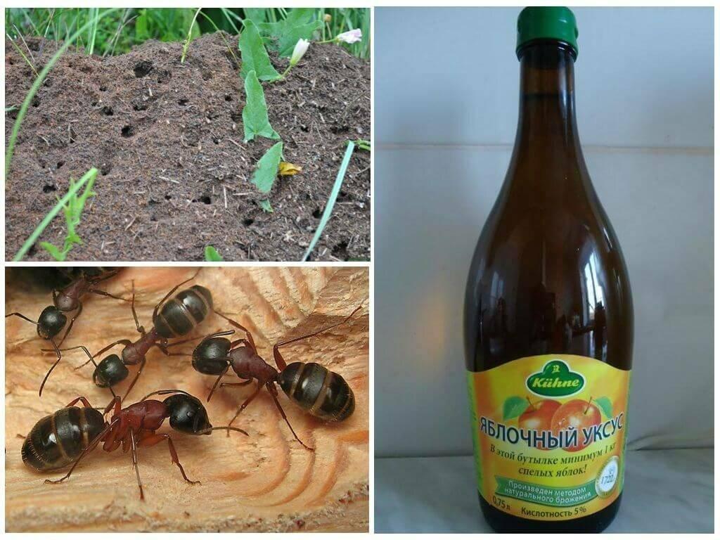 Народные средства от муравьев в огороде: как избавиться от вредителей