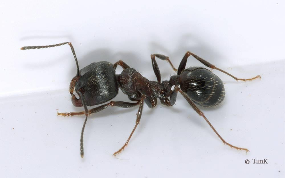 Messor structor (степные муравьи-жнецы):содержание в домашних условиях | аквариумные рыбки