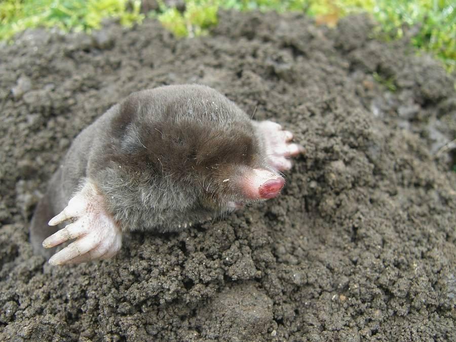 Как избавиться от земляной крысы в огороде: методы борьбы