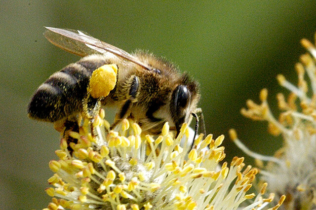 Характеристика породы пчел карника