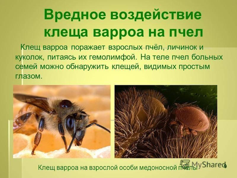 Борьба с клещем пчел по методу майкла буша