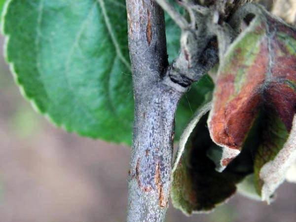 Яблонная моль — как бороться с вредителем? фото — ботаничка.ru